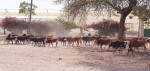 bestiame in città